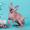 Шок и гармония-канадский сфинкс. #1322575