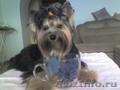 Стрижка йорков и других пород собак,  тримминг собак