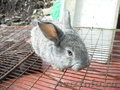 Кролики - Фландр,  Серый великан