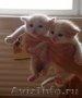 Отдам в добрые руки котят!  Папа котят с родословной, порода Невская Маскарадная(