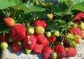 консультации по выращиванию клубники,виктории,садовой земляники, без опыта работ - Изображение #6, Объявление #1326564