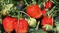 консультации по выращиванию клубники,виктории,садовой земляники, без опыта работ - Изображение #8, Объявление #1326564
